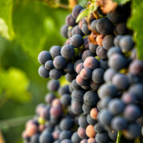 grapes are loaded with antioxidant