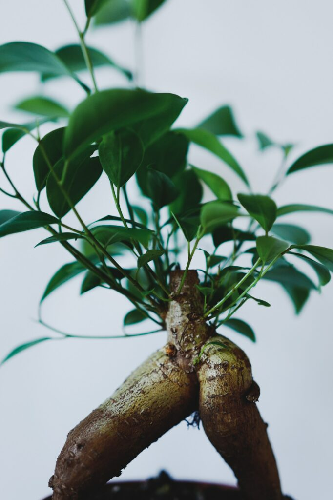 ginseng in skincare