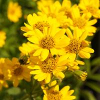 Arnica Flower Extract
