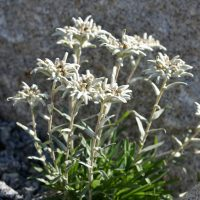 Edelweiss - Leontopodium alpinum, mountains flower growing in Alps.