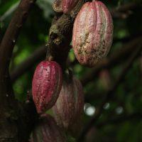 cacao skincare